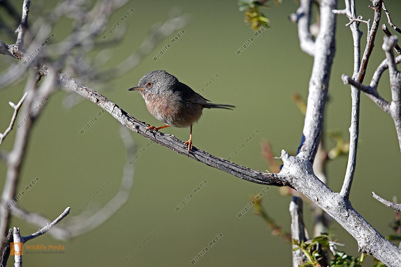 Provencegrasmücke Weibchen