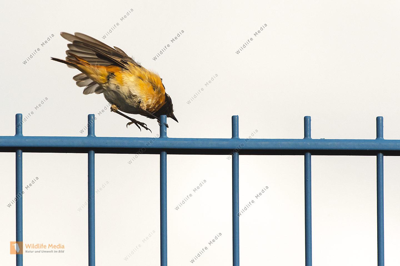 Ein Gartnerotschwanz sitzt auf einem Zaun