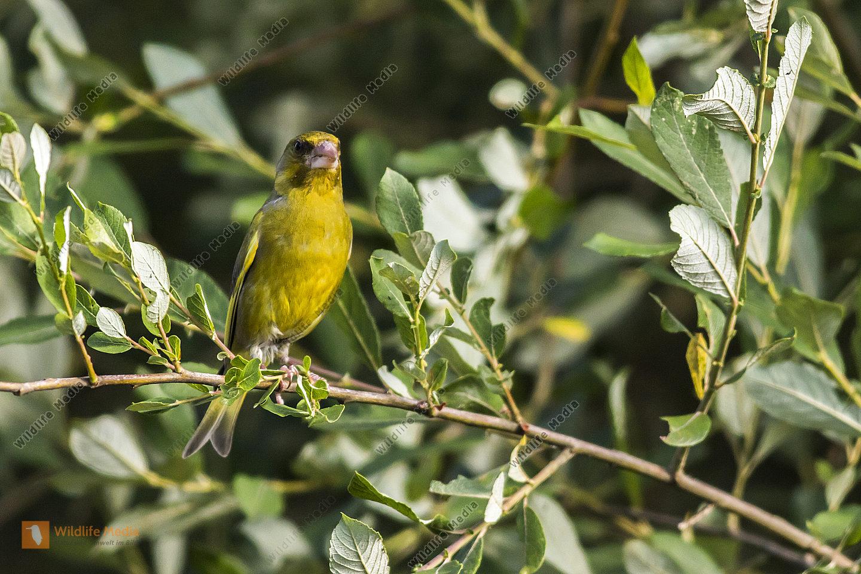 Ein Grünfink vor blauen Himel sitzt auf einem Ast