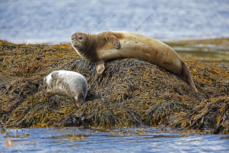 Gemeiner Seehund