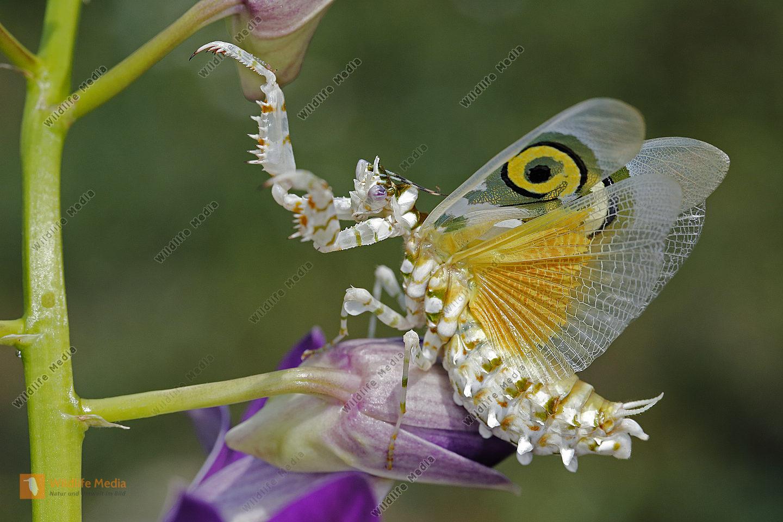 Afrikanische Blütenmantis Weibchen drohend