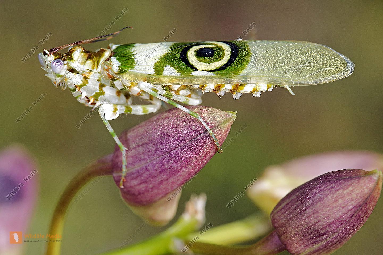 Afrikanische Blütenmantis Männchen
