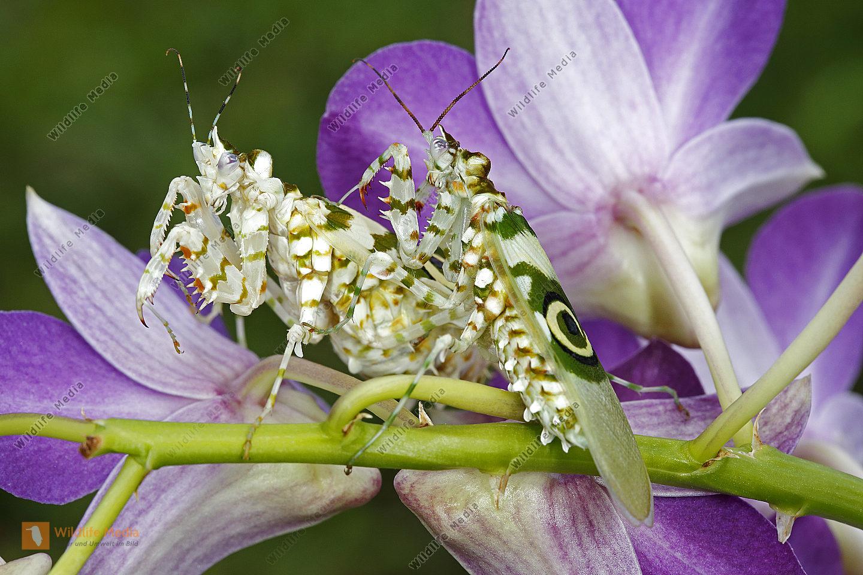 Afrikanische Blütenmantis Paarung