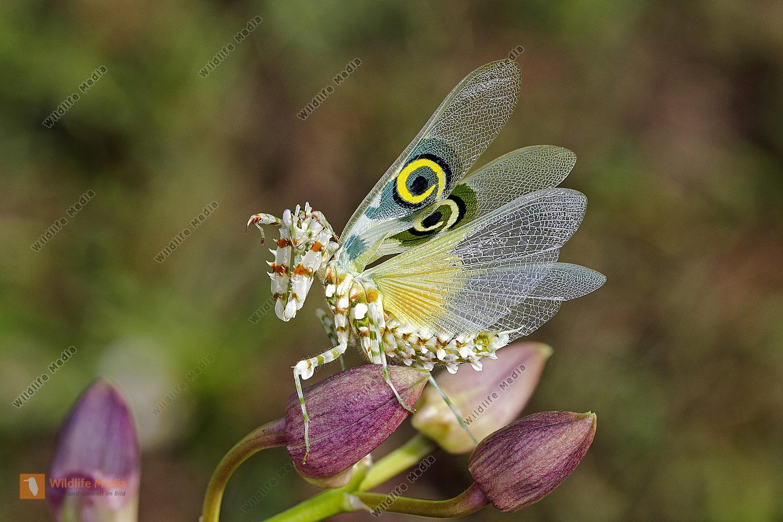 Afrikanische Blütenmantis drohendes Männchen