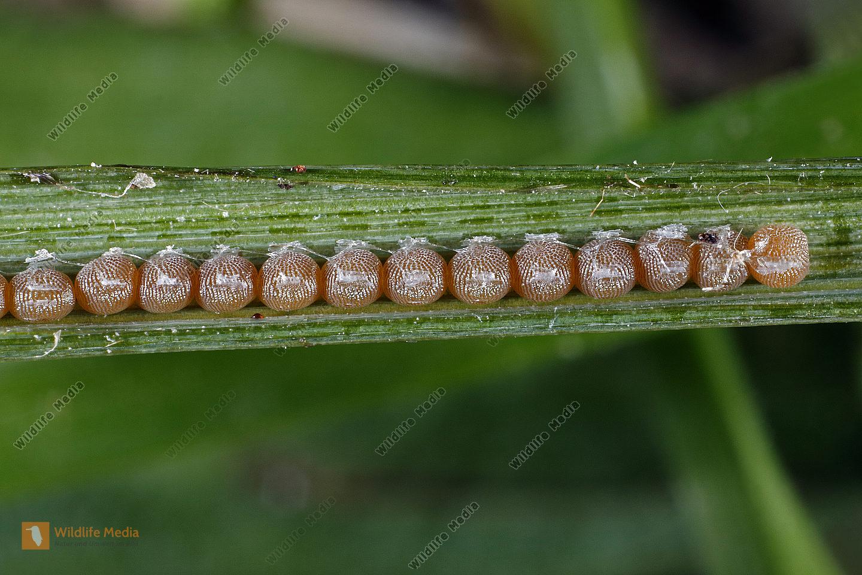 Malachiteule Eier