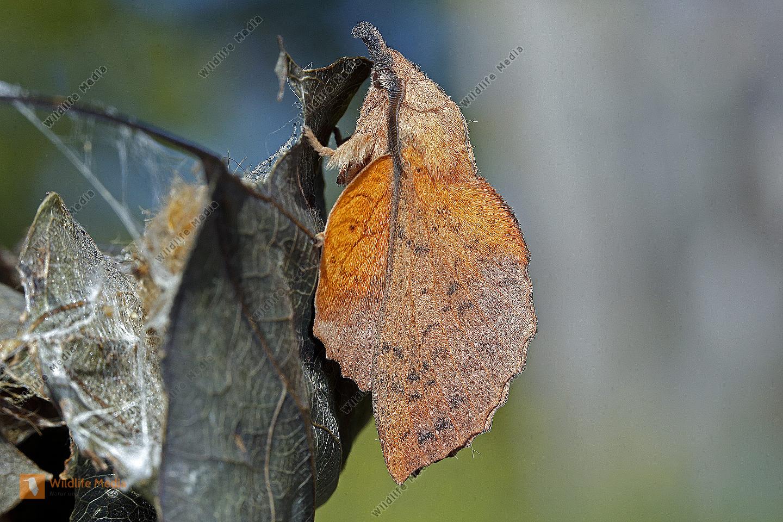 Pappelglucke Männchen