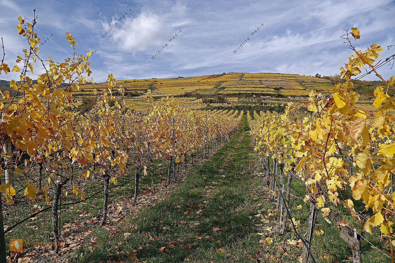 Buntes Weinlaub