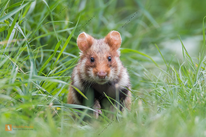 Feldhamster Cricetus cricetus European Hamster