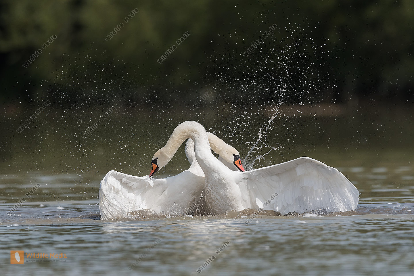 Hoeckerschwan Cygnus olor Mute Swan kämpfend fighting