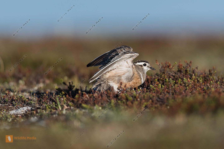 Mornellregenpfeifer Charadrius morinellus Dotterel