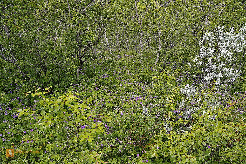 Birkenwald bei Pingvellir