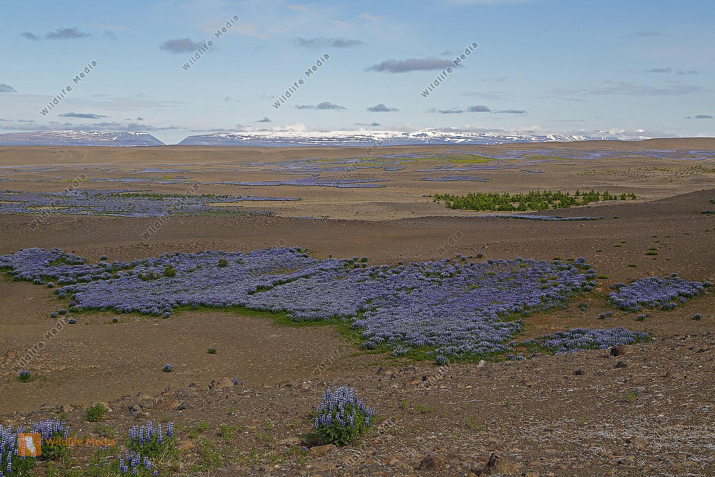 Lupinienfelder in Island