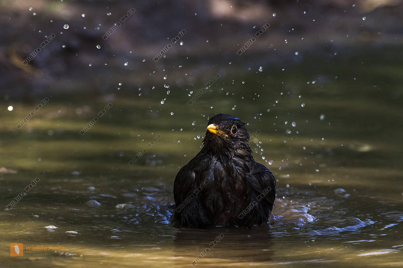 Eine Amsel nimmt ein Bad in einer Pfütze