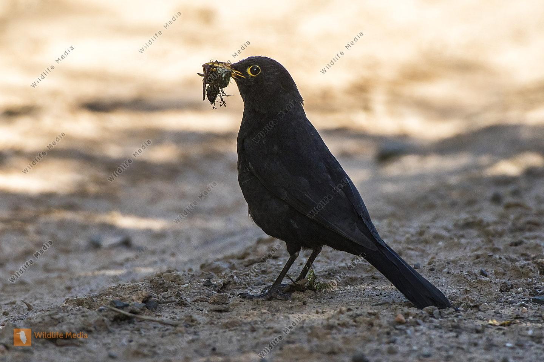 Eine Amsel auf Nahrungssuche