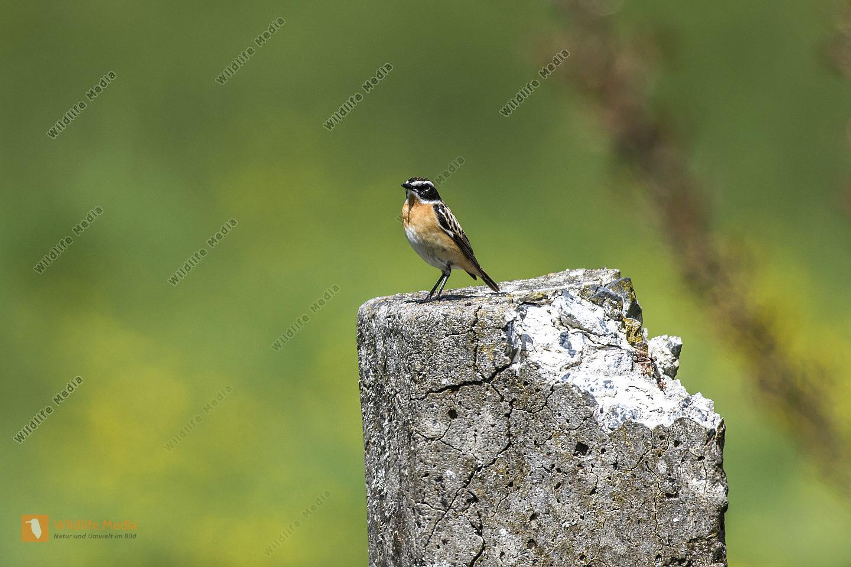 Ein Braunkehlchen sitzt auf seiner Warte