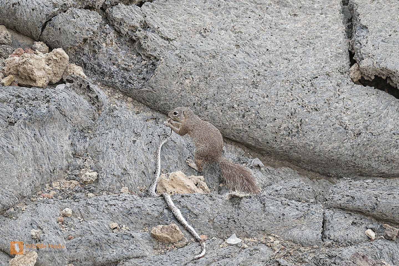 Streifenloses Borstenhörnchen