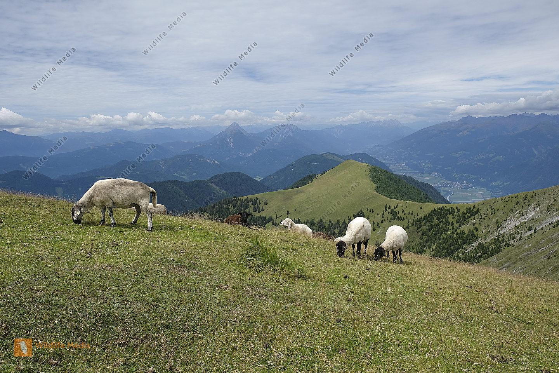 Schafherde mit Reißkofel
