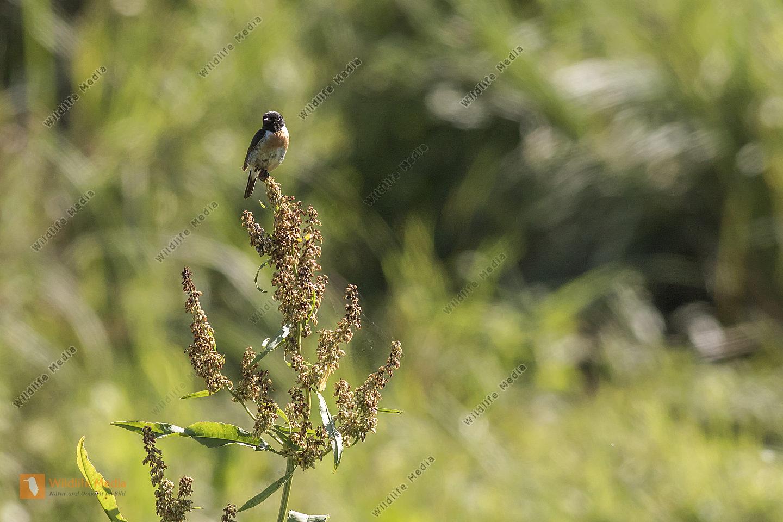 Ein Schwarzkehlchen sitzt auf seiner Warte