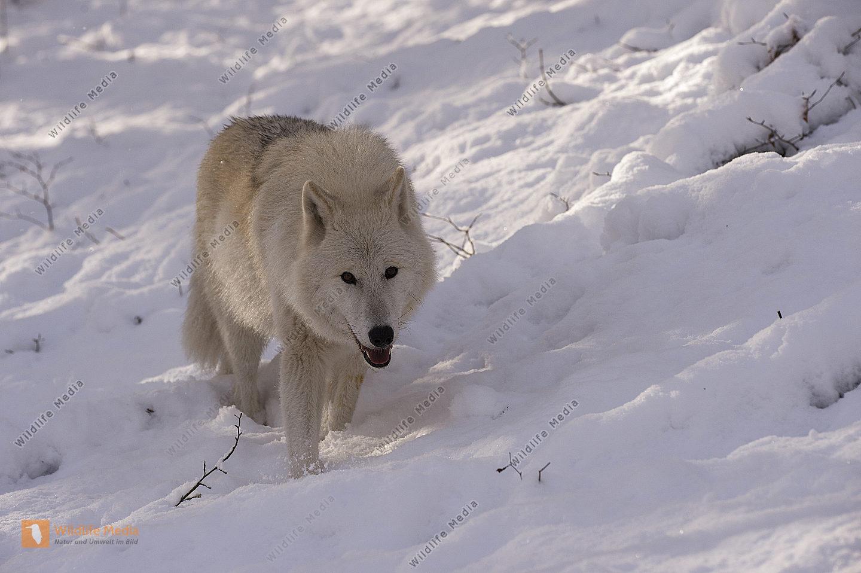 Polarwolf Weißwolf oder arktische Wolf Canis lupus arctos