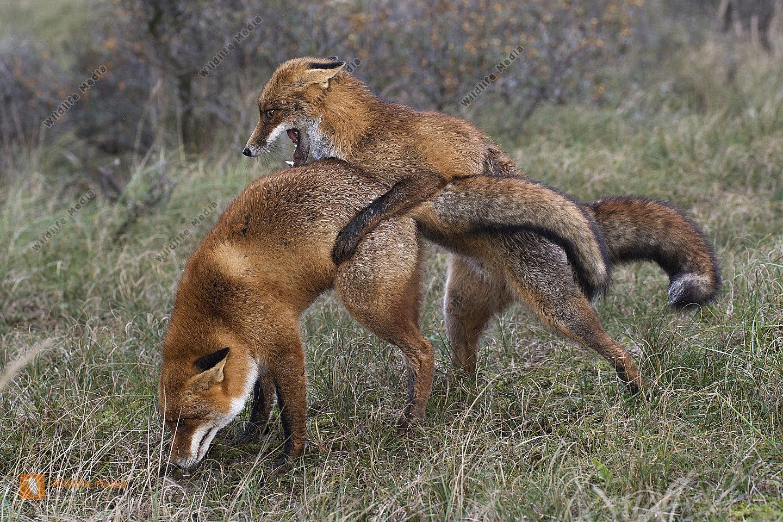 Rotfuchs Vulpes vulpes