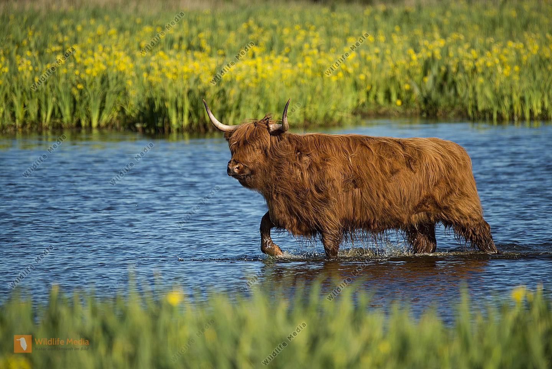"""Schottische Hochlandrind Highland Cattle oder Kyloe schott.-gäl. Bò Gàidhealach """"gälisches Rind"""""""