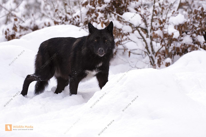 Timberwolf Canis lupus lycaon