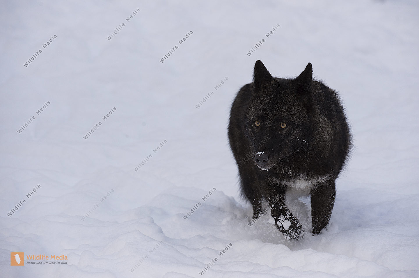 Timberwolf Canis lupus lycaon