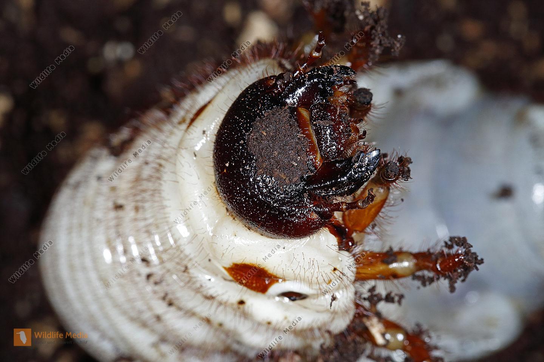 Elefantenkäfer Larve gyas porioni