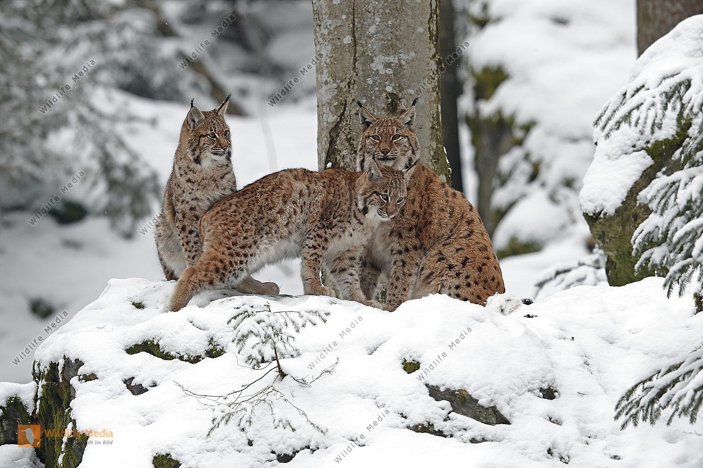 Luchsfamilie im Schnee