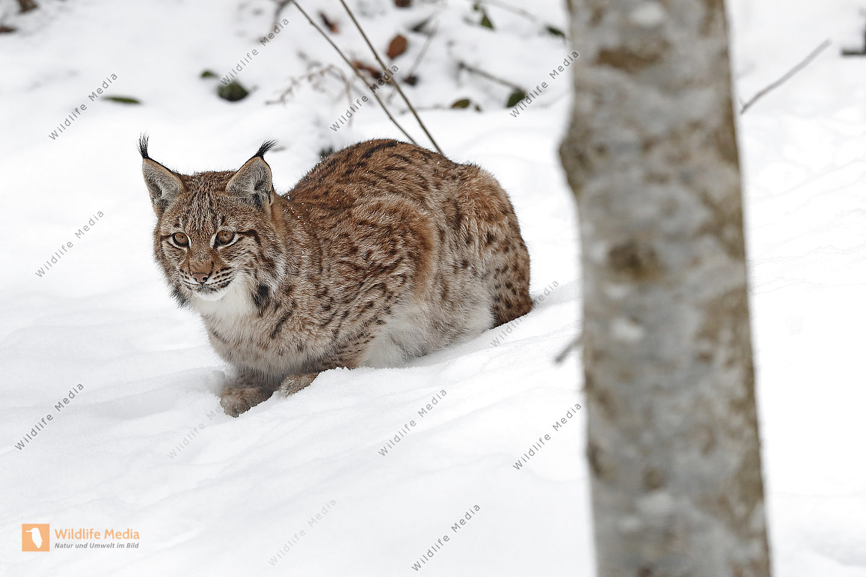 Luchs Jungtier im Schnee