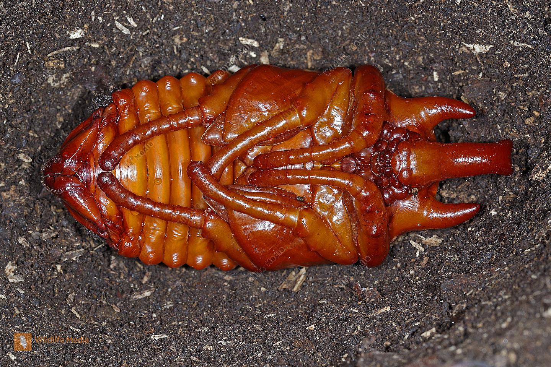 Elefantenkäfer actaeon Männchen Puppe