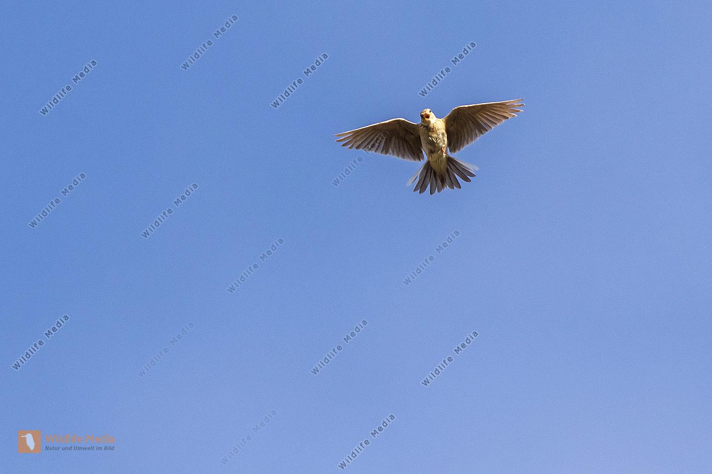 Eine Feldlerche im Singflug