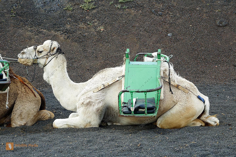 Kamele auf Lanzarote