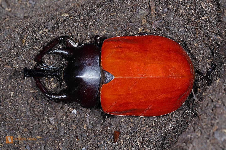 Elefantenkäfer actaeon Männchen fast ausgehärtet
