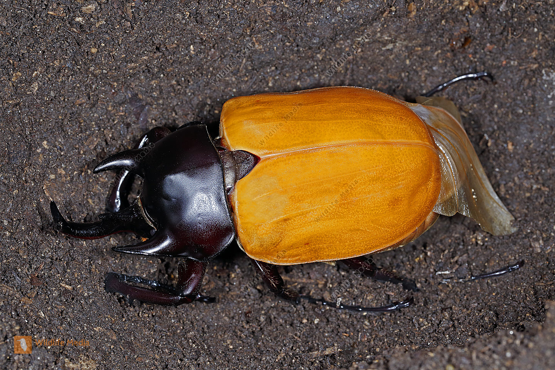 Elefantenkäfer actaeon Männchen beim Aushärten