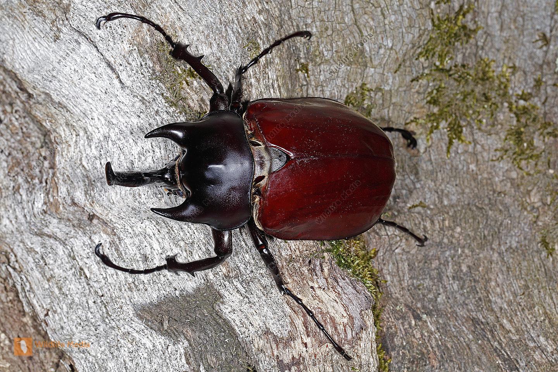 Elefantenkäfer actaeon Männchen