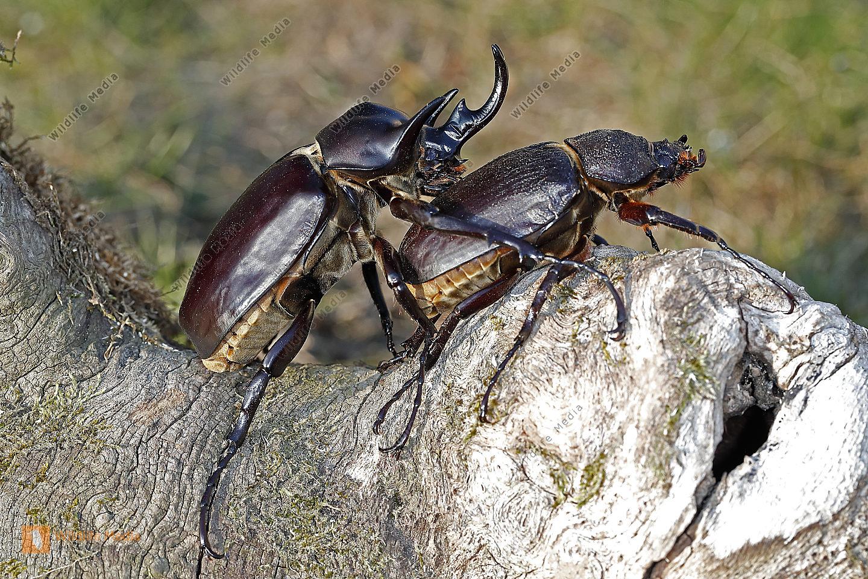 Elefantenkäfer actaeon Pärchen