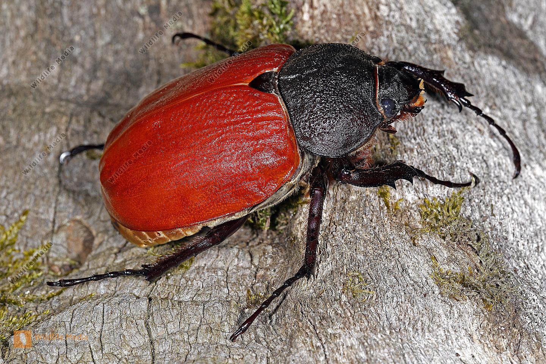 Elefantenkäfer actaeon Weibchen
