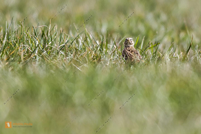 Eine Feldlerche rastet auf einer Wiese