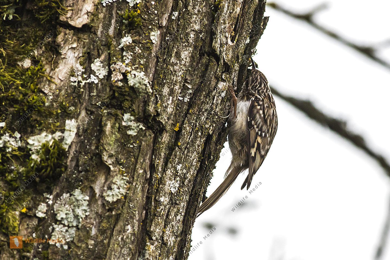 Ein Gartenbaumläufer sucht am Baumstamm nach Nahrung