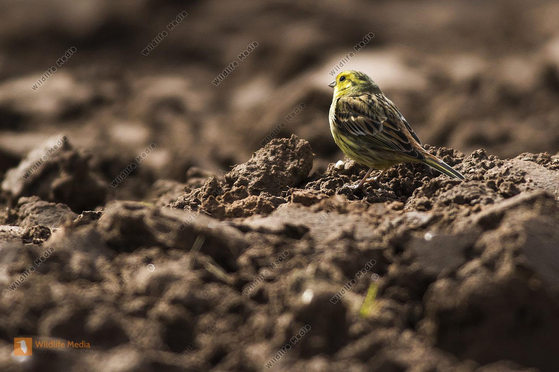 Eine Goldammer sucht auf einem Acker nach Nahrung