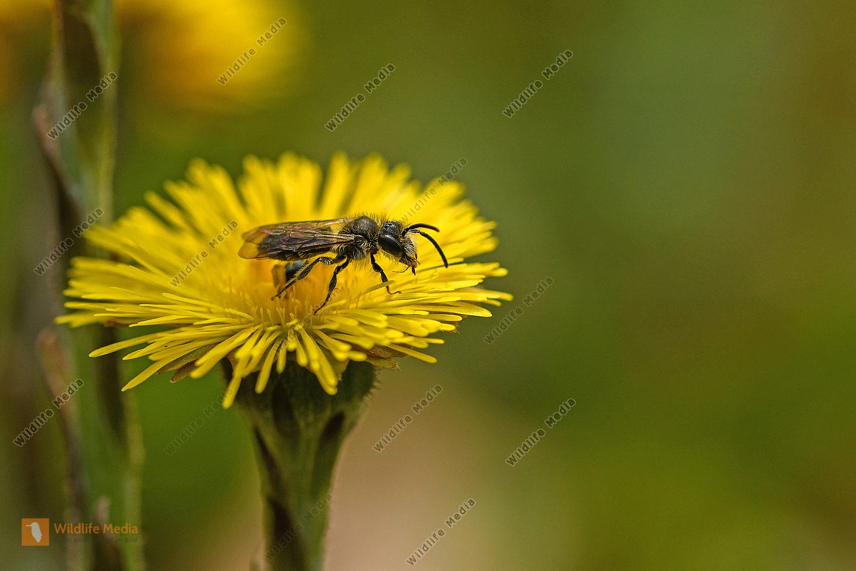 Huflattich mit Wildbiene