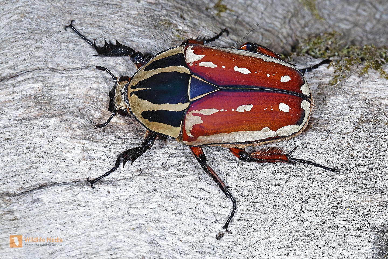 Mecynorrhina torquata ugandensis Weibchen