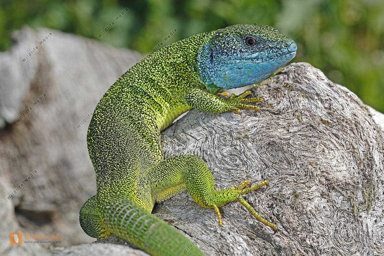 Smaragdeidechse Männchen