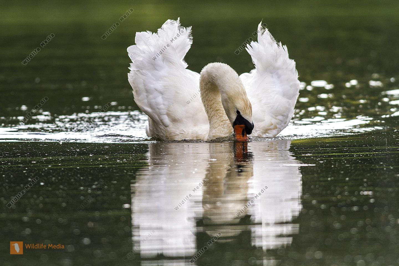 Höckerschwan auf dem Wasser