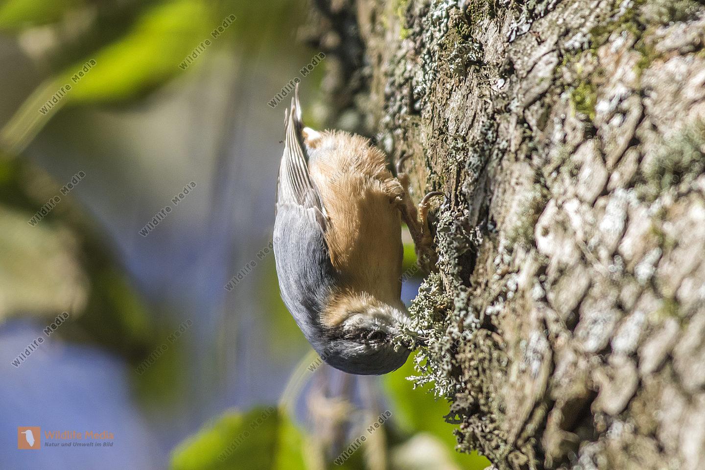 Ein Kleiber auf Nahrungssuche am Baum