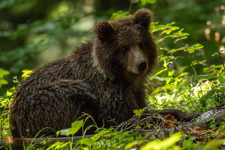 ruhender junger Braunbär
