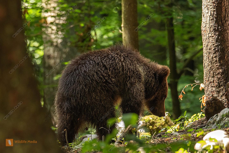 junger Braunbär sucht am Boden nach Nahrung