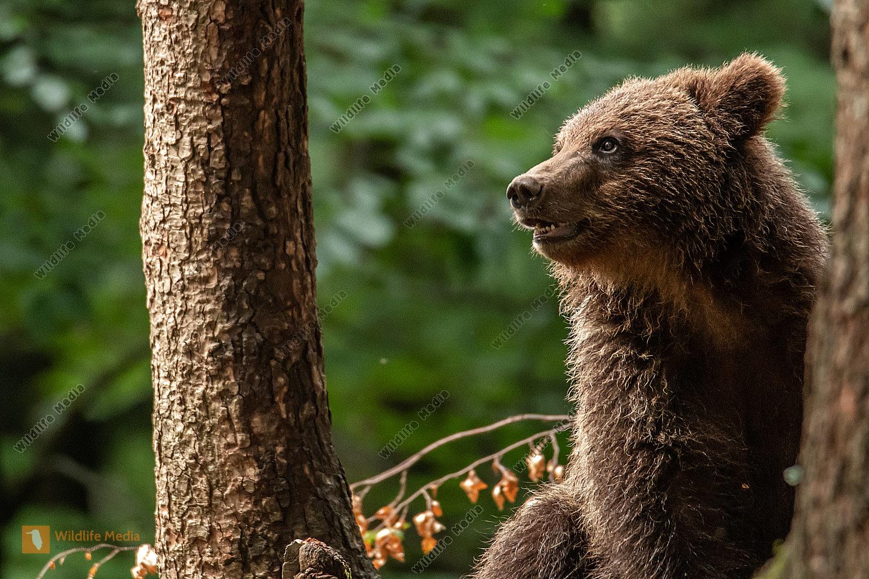 junger Braunbär