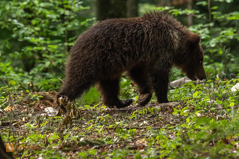 junger Braunbär im Passgang